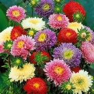 Aster Border Mix - 6 varieties individually packed - Appx 2000 seeds